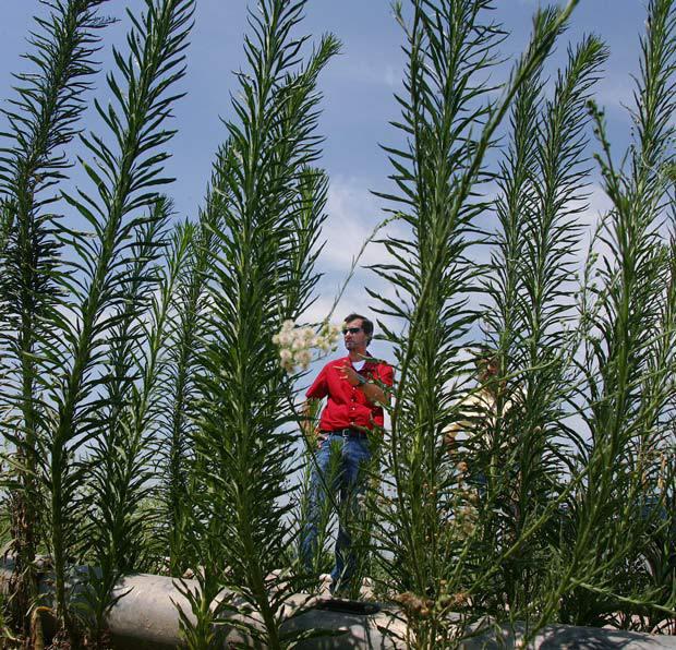 வயல் வெளியில் பூதாகரமாக வளர்ந்துள்ள களை செடிகளை பார்க்கிறார் அமெரிக்க விவசாயி  Courtesy: USNews