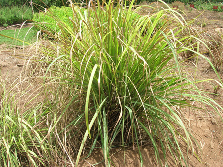 Lemon grass-Vasanai pul
